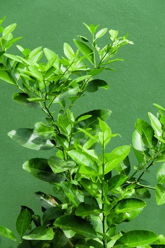 close up image of Lemon tree