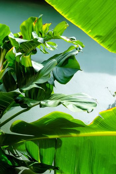 green banana tree leaves