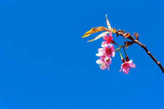 Blossom of Wild Himalayan Cherry (Prunus cerasoides) or Giant tiger flower on blue sky.