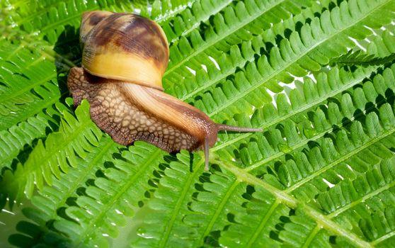 Achatina fulica, a giant snail crawling on a green fern leaf