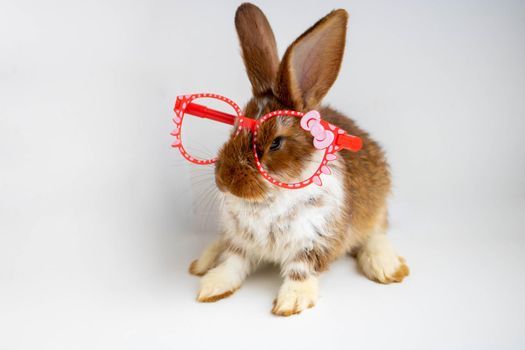 A small brown rabbit with white spots sits in red fashionable glasses on a white background