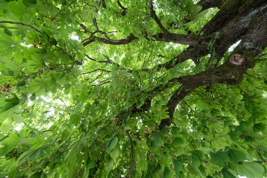 Canopy of walnut tree