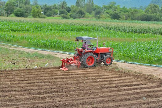 Gardeners are driving the tractor to cultivate the soil. Pelicans looking for food With forest background
