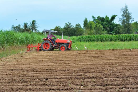 Gardeners are driving the tractor to cultivate the soil. Pelicans looking for food With forest and blue sky background