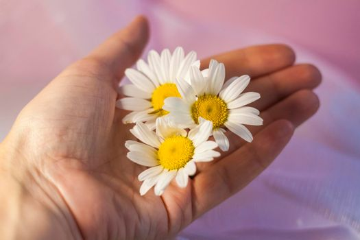 A woman's hand with white daisies on a light background. Concept: softness and tenderness, anti-aging effect, ease of movement. A natural product.