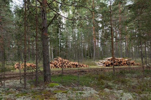 Logging. Sawed pine logs stacked in the forest