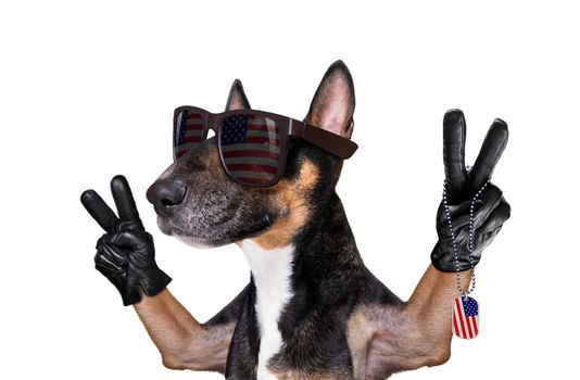 bull terrier waving a flag of usa and victory or peace fingers on independence day 4th of july with sunglasses