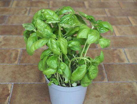 basil (Basilicum) potted plant