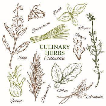 Hand Drawn Culinary Herbs Set