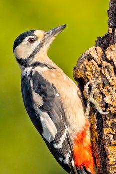 Great Spotted Woodpecker, Mediterranean Forest, Spain