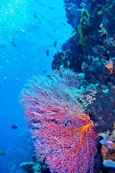 Sea Fan, Sea Whips, Bunaken National Marine Park, North Sulawesi, Indonesia