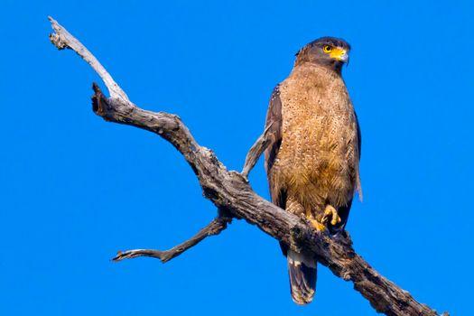 Crested Serpent Eagle, Royal Bardia National Park, Nepal