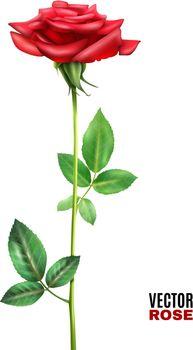Rose Flower Illustration