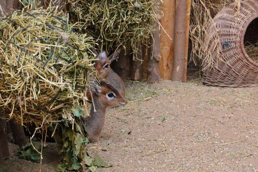 A small antelope is hiding from the hay.