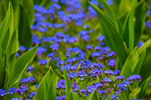 Beautiful blooming perennial blue flowers in the meadow.