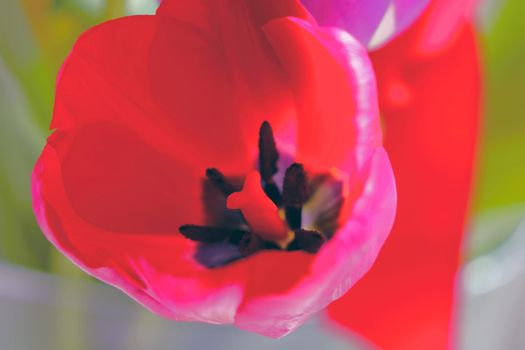 Top view of a blooming tulip in bloom.