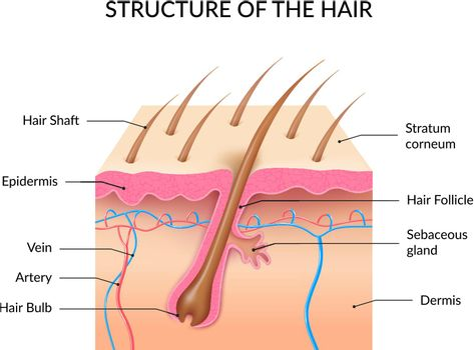 Realistic Human Hair Anatomy Infographics