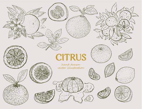 Hand Drawn Citrus Botanical Set