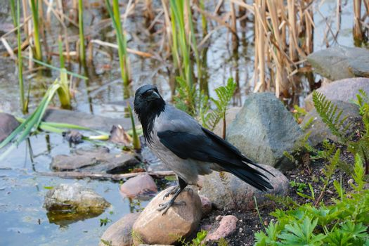 Close-up of a black crow standing on a stone.