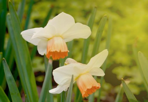 Blooming daffodils in the garden during sunset.