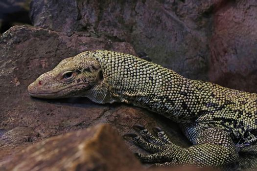Close-up on a monitor lizard on a stone in the park.