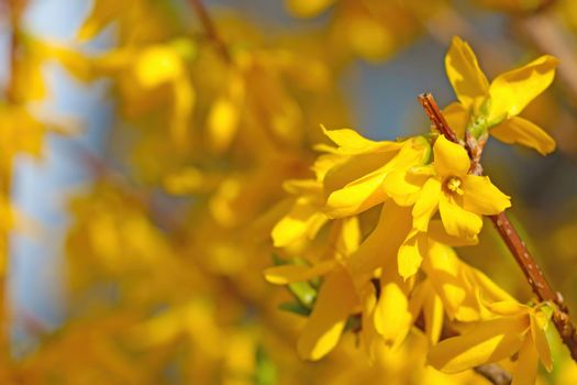 Beautiful yellow blooming forsythia in the park in spring.