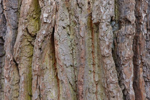 Close-up on the bark and trunk of an old large tree, wood grain.