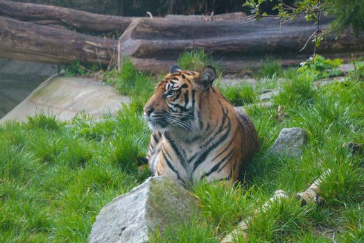 Selective focus. A young tiger lies in the grass and looks attentively.