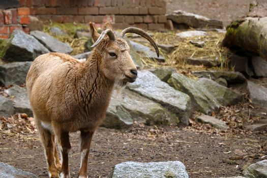 A mountain goat stands in the animal park close-up.