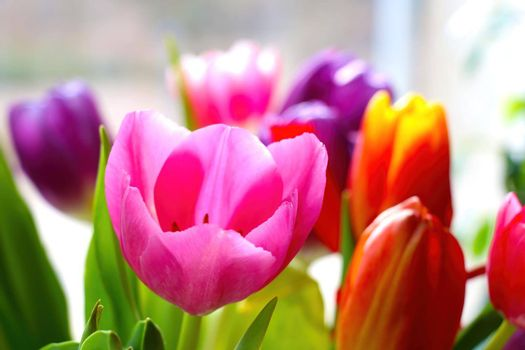 Close-up on a blooming fragrant tulip. Fresh flowers.
