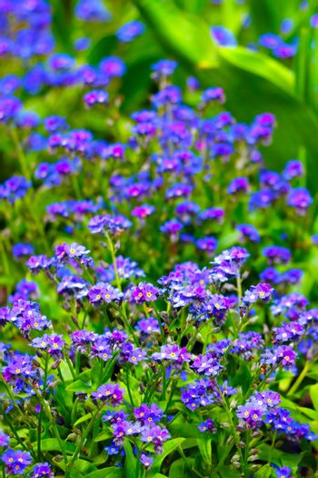 Beautiful blue perennial flowers in the summer park.
