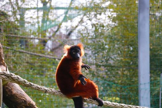 View of a beautiful lemur in the animal park.