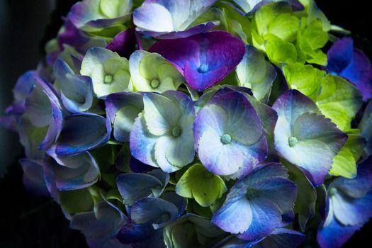 Hydrangea plant in full bloom