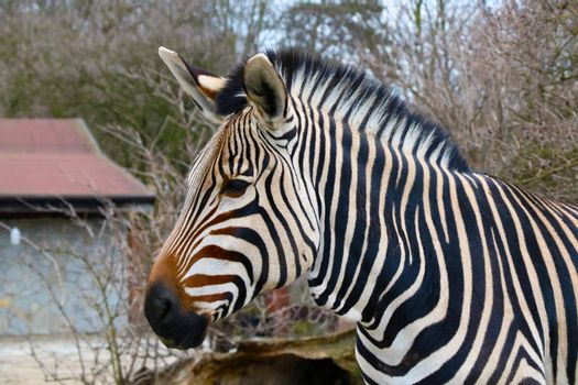 Close-up on a zebra in the animal park.
