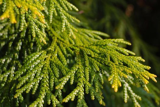 Young green branch of juniper in the park.