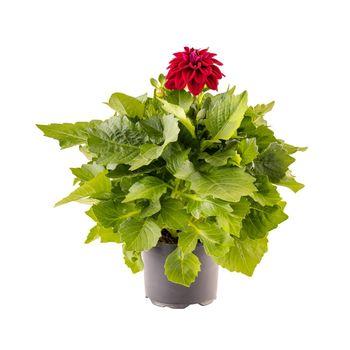 Red dahlia flower in flower pot i