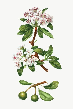 Almond-leaved pear tree