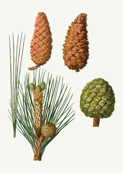 Maritime pine tree