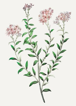 Selago flower