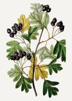 Small-flowered black hawthorn