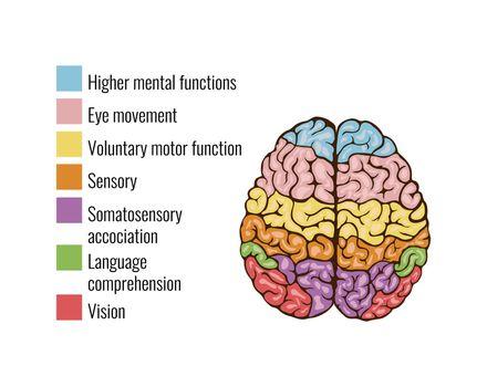 Human Brain Parts Composition