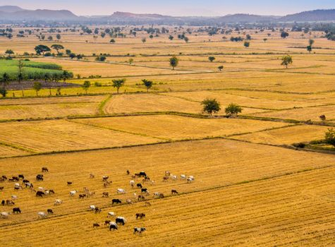 Cow herds in the grassland livestock