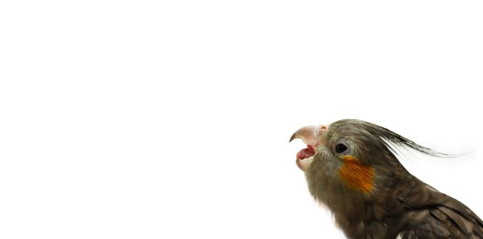 Cockatiel parrot with open beak on white isolated background. An angry bird with an open beak wants to bite.