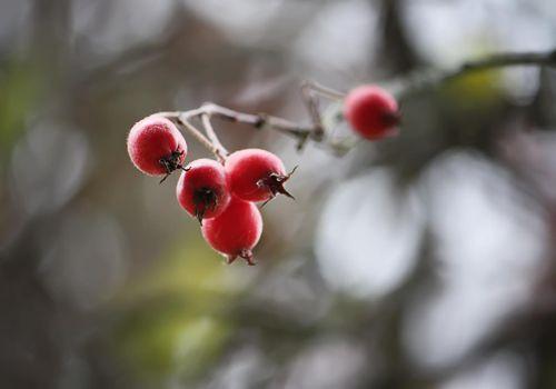 Ripe hawthorn in autumn