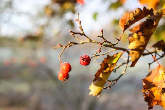 Midland hawthorn, Crataegus laevigata