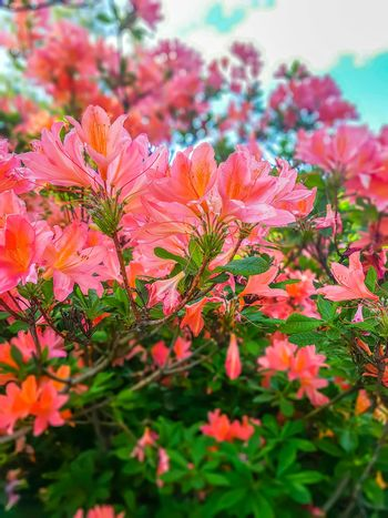 Beautiful Rhododendron plant with fragrant flowers in spring park.