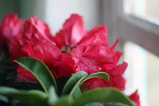 Rhododendron flowers in sunlight