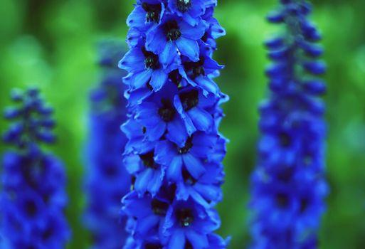 Flower Delfinium. Perennial plant.