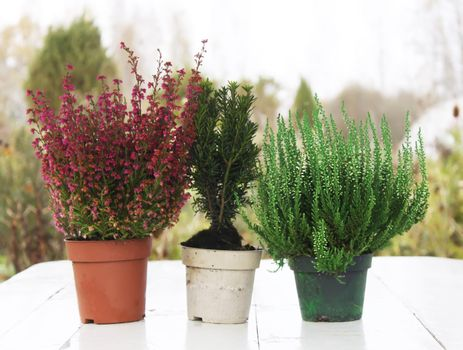 Pots with young conifer plants